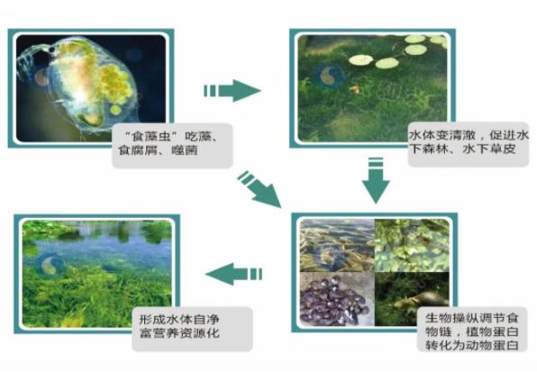 【案例】太和水: 小小食藻虫,引导上海古猗园景观水体生态修复
